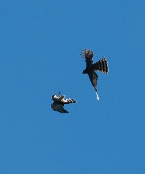 Sharp-shinned Hawk & Merlin
