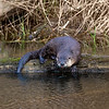 River Otters - March 2019 - 6
