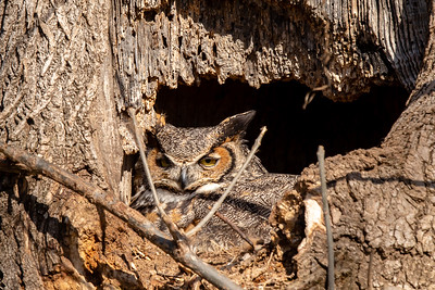 The Ephrata Great Horned Owl
