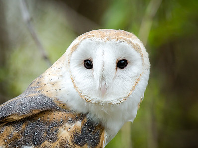 Barn Owl - Female