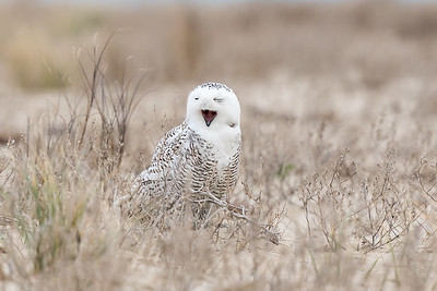 Snowy Owl (1 of 2 seen at this location)