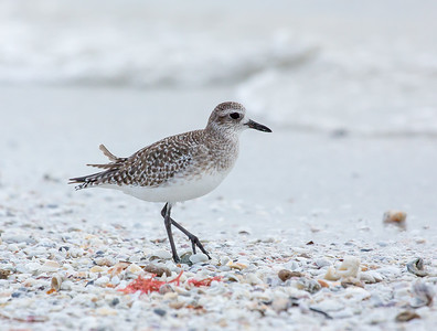 Black Bellied Plover - Winter