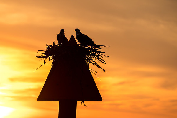 Ospreys on the Magothy River