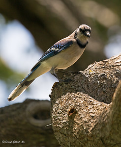 Blue Jay Warming Himself in the Afternoon Sun