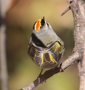 Golden-crowned Knglet