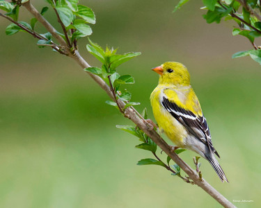 Gold Finch at Red Top Mountain State Park