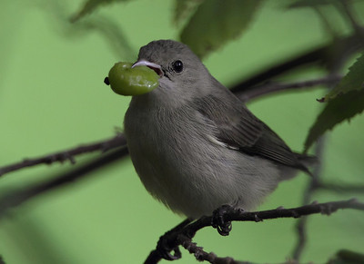 Pale-billed flowerpecker with Singapore Berry Photo @ Lotus Pond