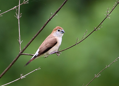Indian Silverbill Photo @ Narsapur Reserve Forest near Hyderabad