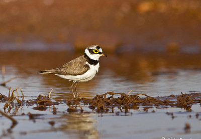 Little-ringed Plover Photo @ Osman Sagar Lake, Hyderabad