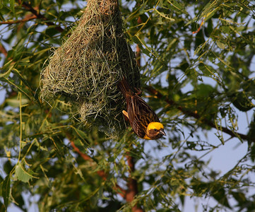 Baya Weaver nesting Photo behind KPHB Hyderabad