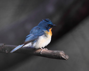 Tickell's Blue Flycatcher Photo @ Lotus Pond, Hyderabad