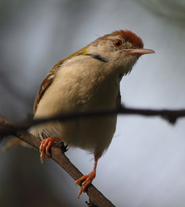 Tailorbird Photo @ Lotus Pond, Hyderabad