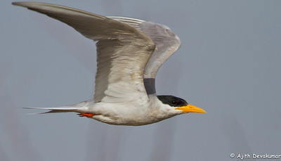 River Tern - in flight Photographed near Osman Sagar Lake, Hyderabad