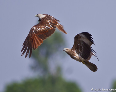 Brahminy Kite interaction Photographed at Pocharam Lake, Medak District