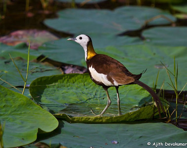 Pheasant-tailed Jacana Photographed at Lotus Pond, Hyderabad
