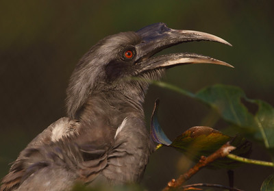 Grey Hornbill Photo @ zoo park, hyderabad