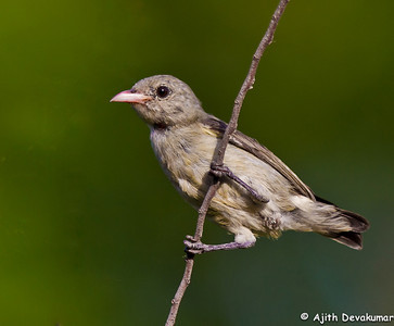Pale-billed Flowerpecker Photographed at Lotus Pond, Hyderabad
