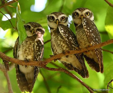 Spotted Owlets roosting Photo @ Pench National Park, MP