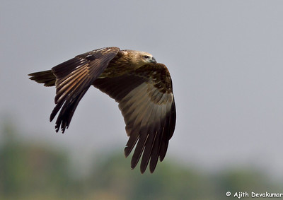 Brahminy Kite - in flight Photo at Pocharam Lake, Hyderabad