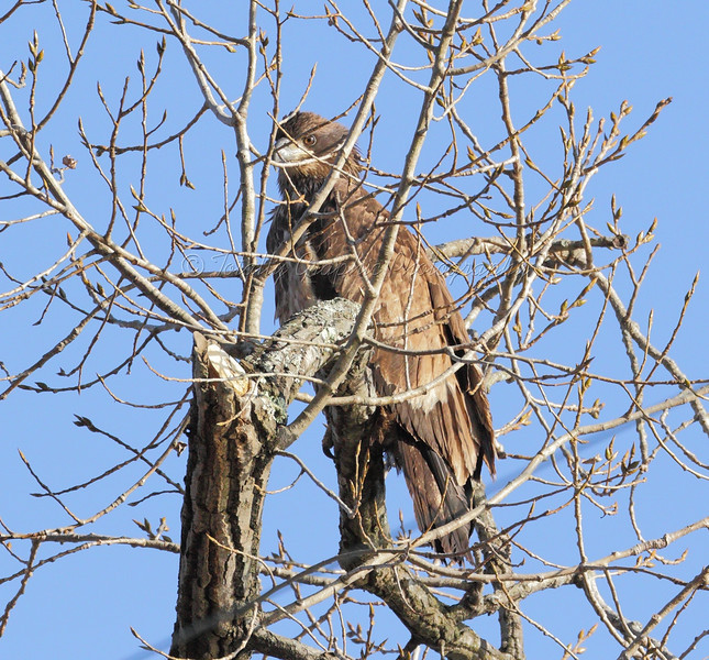 Immature Bald Eagle 11-17-2012 Rondout creek Ulster County NY