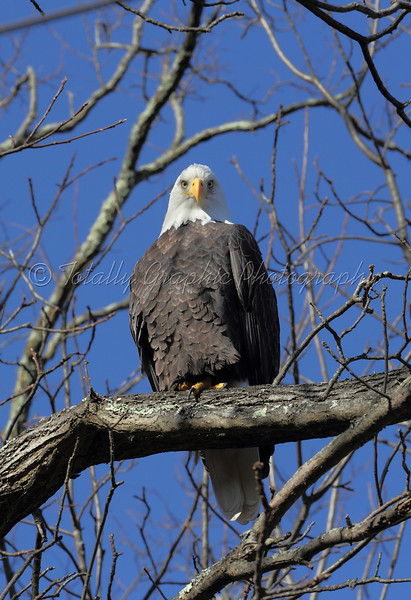 Bald Eagle. Photograph taken on Thanksgiving Day 11-22-2012 in St. Remy New York.