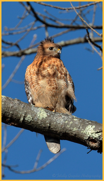 "This Red Shouldered Hawk stopped by to show off her new hair dew. She said it was a retro ""Mo-Hawk"" look !"