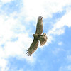 Young Red Tailed Hawk in flight. Best view at X2