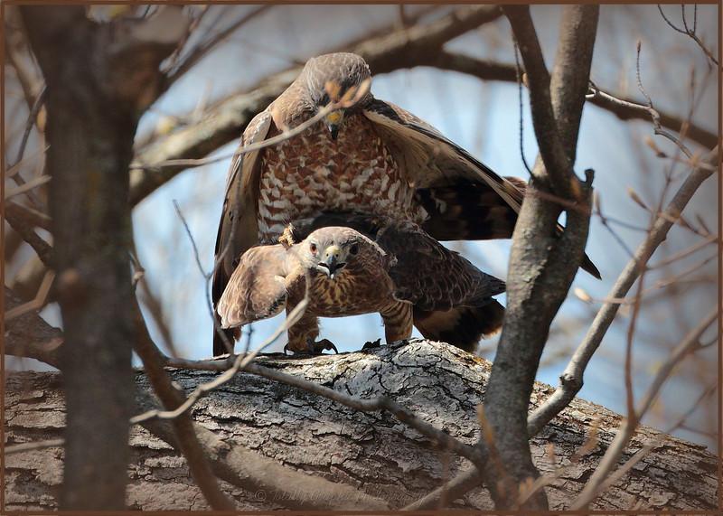 Broad Winged Hawks