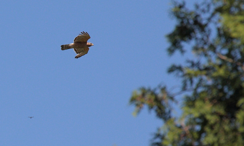 Red Shouldered Hawk in flight with a dragonfly!