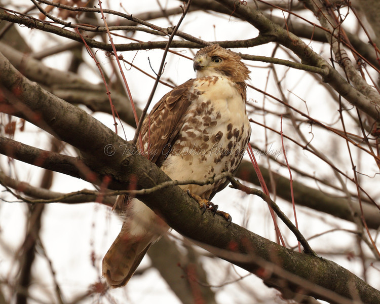 A young Red Tailed Hawk
