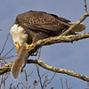 American Bald Eagle with Gray Squirrel. Photographed in Ulster Park New York Feb 2012.