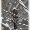 A snowy Red-shouldered Hawk