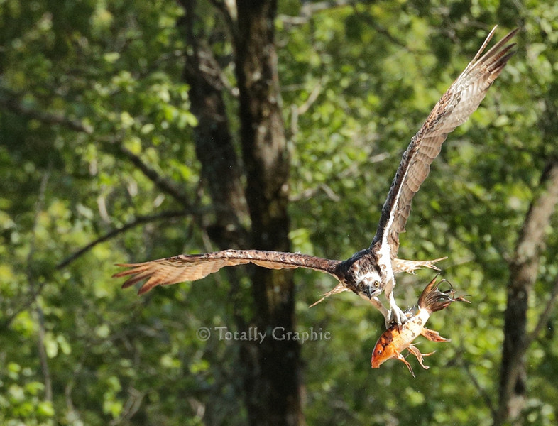 "Osprey with an exotic Koi Fish or ""Carp""!"