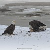 Bald Eagles on the Lower Rondout Creek Eddyville, NY 1-16-18