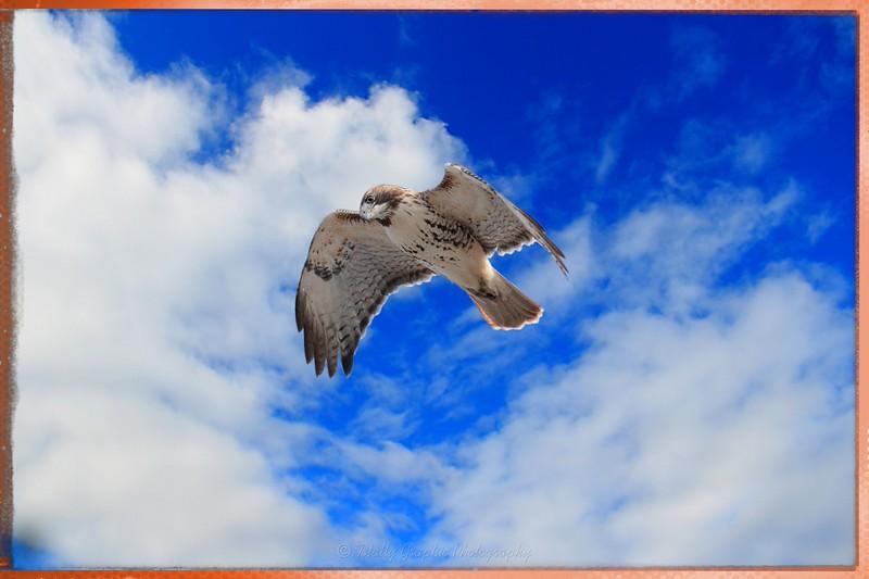 Red Tailed Hawk in flight!