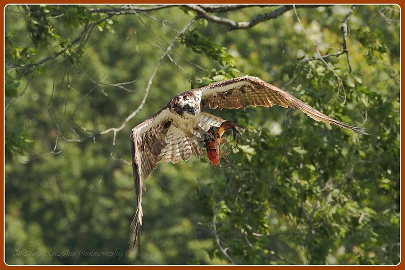 Osprey with my neighbors pet Koi fish it stole out of their pond!