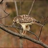 Red Shouldered Hawk with breakfast