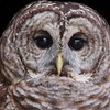 Barred Owl in captivity