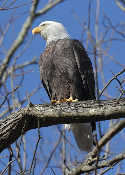 Bald Eagle. Photograph taken on Thanksgiving Day 11-22-2012 in St. Remy New York