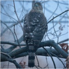 "A ""Through the Window"" Cooper's Hawk"