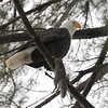Bald Eagle with Gray Squirrel. 1-12-2013 Ulster Park New York. This photo made the NYS Conservationist magazines Facebook page!