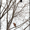Red Shouldered Hawk with a Crow