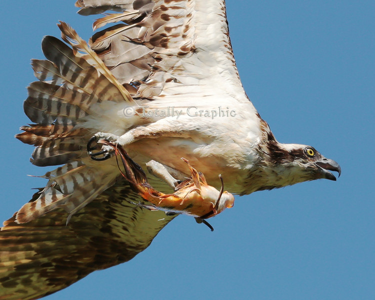 "Close up of the Osprey or ""Fish Eagle"" with Koi fish."