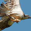"""Close up of the Osprey or """"Fish Eagle"""" with Koi fish."""