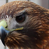 Red Tailed Hawk in captivity