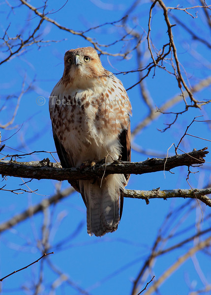 A young Red  Shouldered Hawk