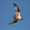 """Osprey or """"Fish Eagle"""" with Koifish."""