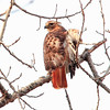 Red Tailed Hawk. The wind was really blowing and as it turned to it's left, the right wing was blown out!