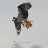 """Osprey with an exotic Koi Fish or """"Carp""""!"""