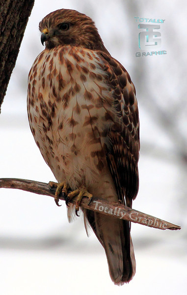A young Red-Shouldered Hawk